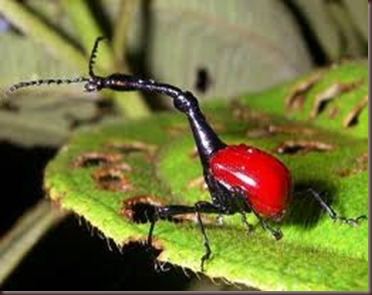 Amazing Pictures of Animals, photo, Nature, exotic, funny, incredibel, Zoo, Giraffe weevil, Insecta, Alex (19)