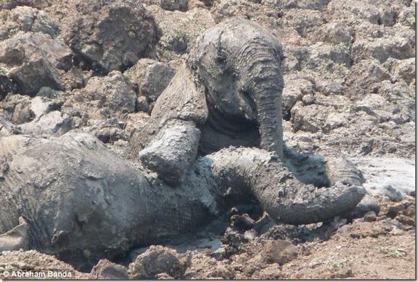 Resgate dramático de um elefante bebê e sua mãe (2)