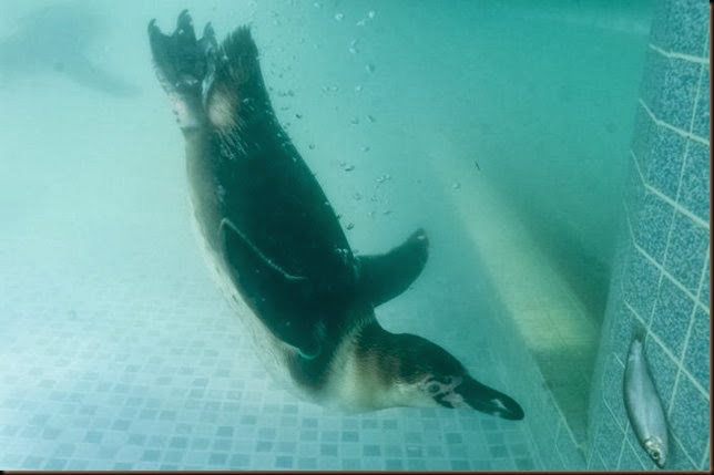 penguin underwater swimming