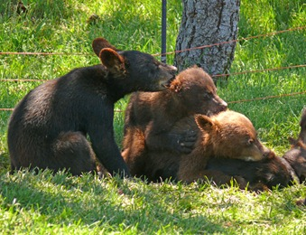 Baby Bears3