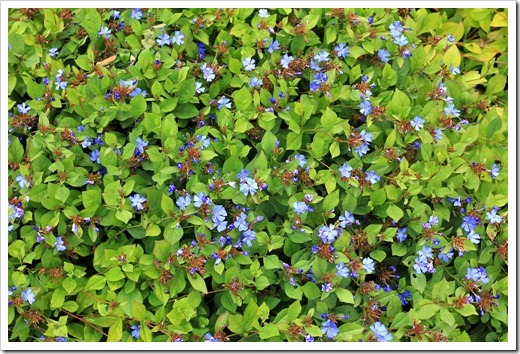 Ceratostigma-plumbaginoides