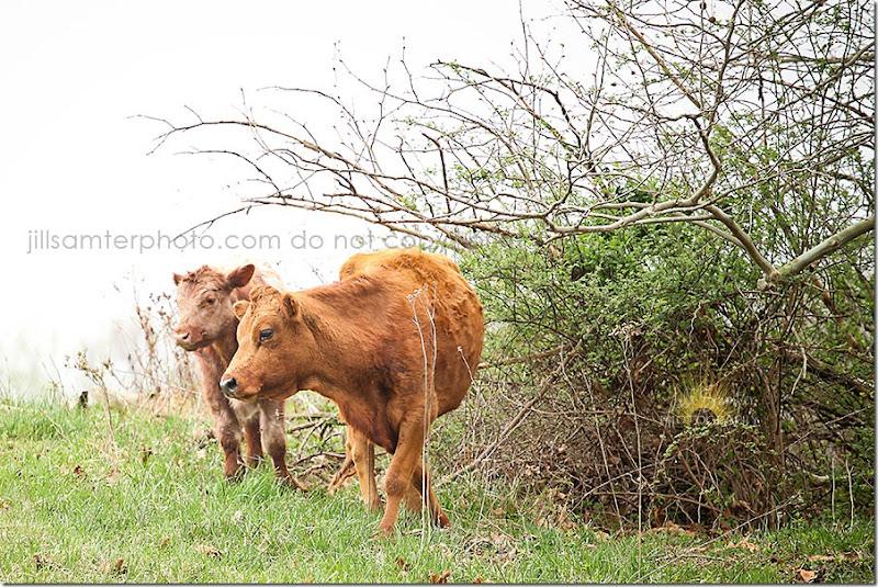cows-5525