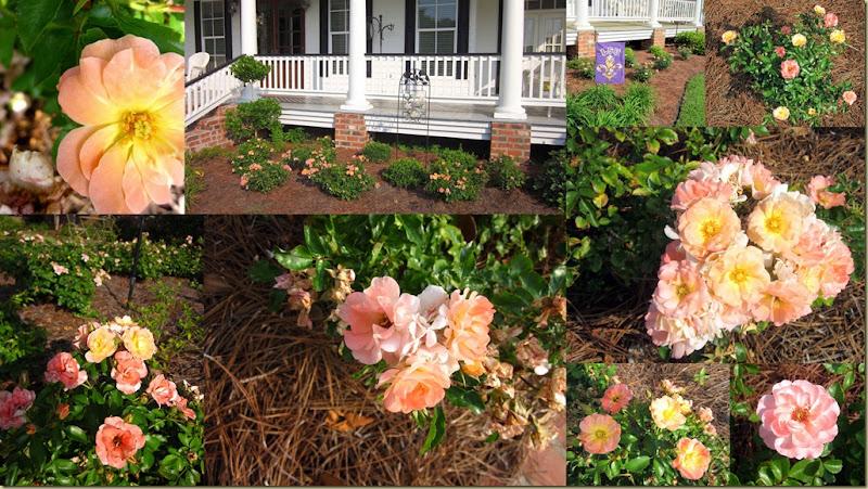 Driff roses post