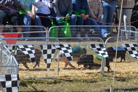 Racing Pot-belly Pigs