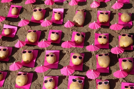 Batatas de Peter Pink 15