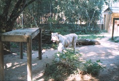 2003.08.26-163-04 tigre blanc