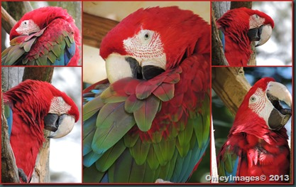 macaw collage1