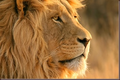 Amazing Animals Pictures Lion  (7)