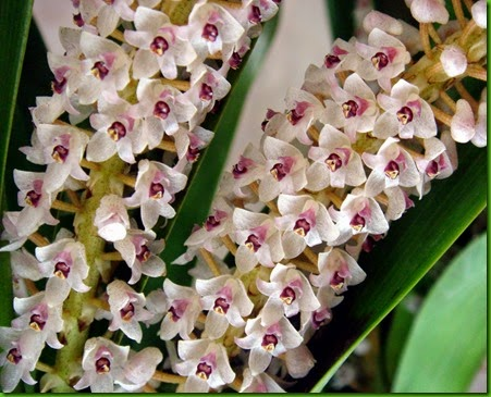 OR Eria hyacinthodes