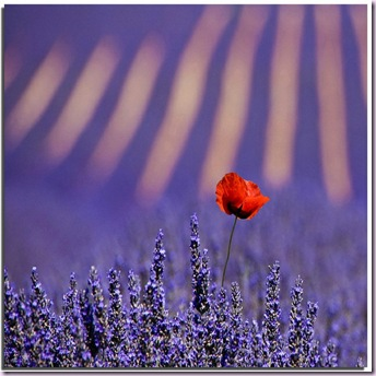 poppy red lavender9