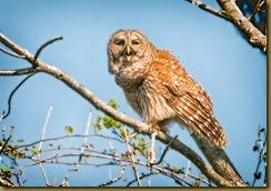 - Barred owl Tree 2 March 19, 2010 NIKON D300S