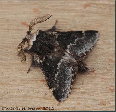 December-moth-3