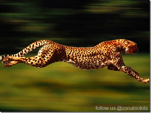 run cheetah