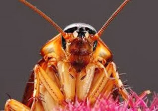Amazing Pictures of Animals,Photo, Nature, Incredibel, Funny, Zoo, Cockroaches,Blattaria or Blattodea, Insecta, Alex (8)