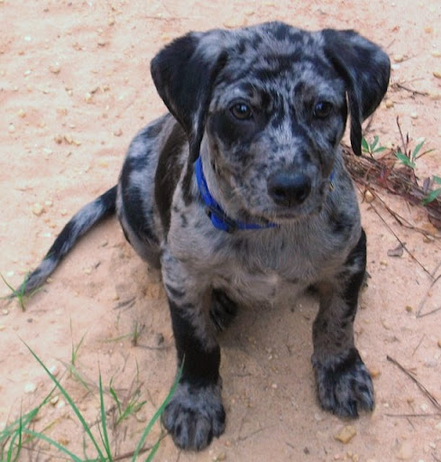 blue merle catahoula leopard dog Quotes