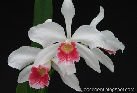 especies-de-orquideas-brasileiras
