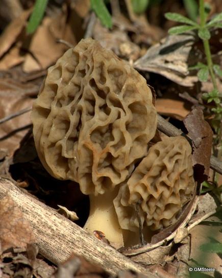 Mushroom_MG_3233_1753.jpg-morels