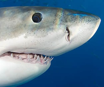 GREAT WHITE SHARK, Carcharodon carcharias, MEXICO.