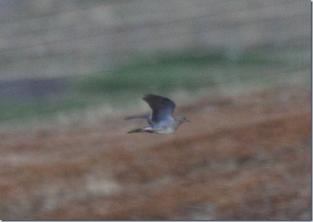 turtle_dove1