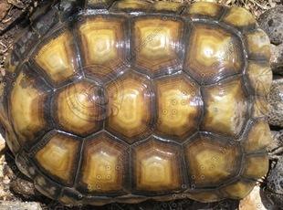 tortoise-shell