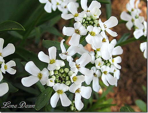 Candytuft_Closeup