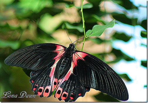 FPC_Butterfly_Scarlet_Swallowtail2