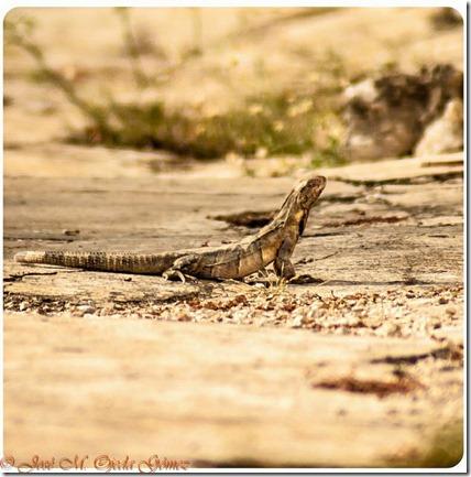 iguanatele