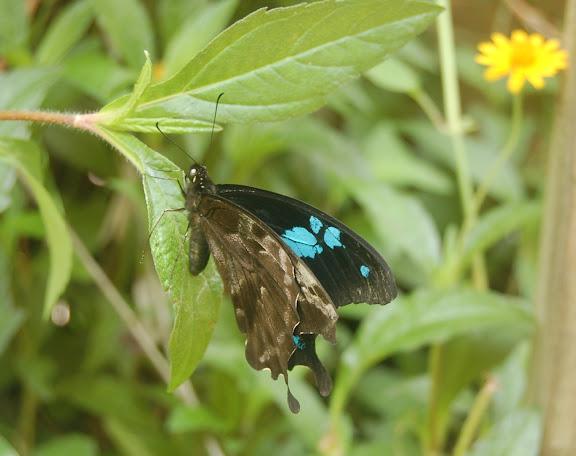Papilio oribazus BOISDUVAL, 1836, endémique de Madagascar. Moramanga, 13 février 2011. Photo : T. Laugier