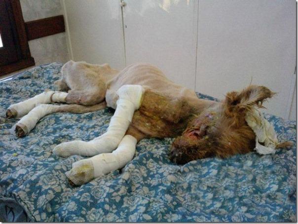História incrível do salvamento de um cão (5)