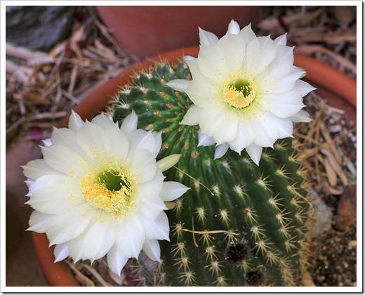 130519_Echinopsis-white_03