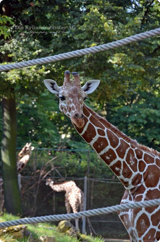 Zoo Frankfurt Giraffe 150813
