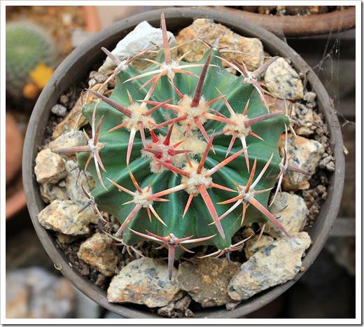 130623_Echinocactus-texensis_04