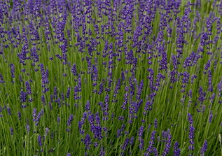 villandry-lavender