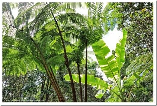 140805_Hawaii_BananaAeAe_018