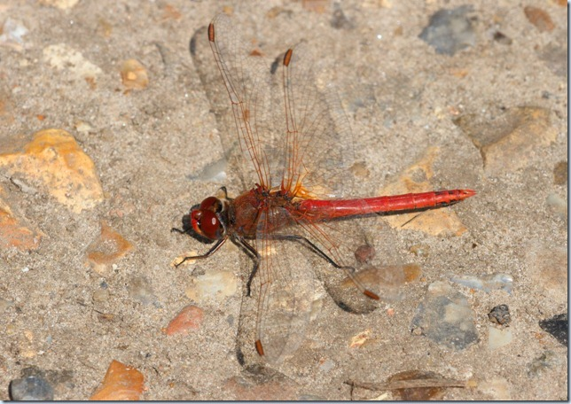 red-veined_darter1