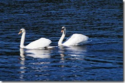 swans lake windermere by ferry