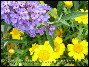 Buddleja davidii (Albero delle farfalle) (4)