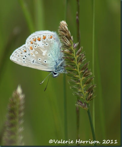 32-common-blue-butterfly