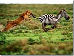 Animales-en-videos-leones-cazando-cebra-300x224