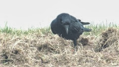 crow in grass1