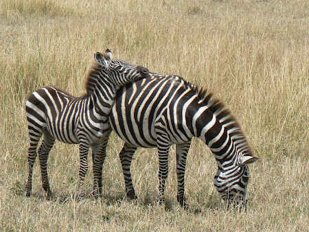 Safari Kenya: zebre in Masai Mara
