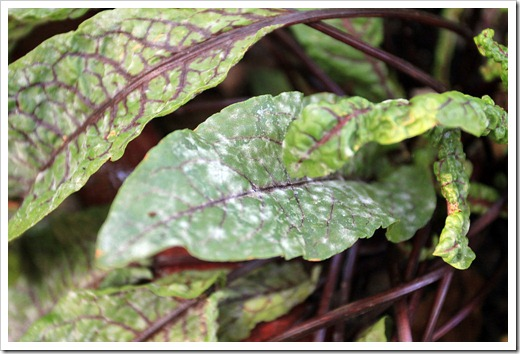 120714_Rumex-sanguineus-with-powdery-mildew_01