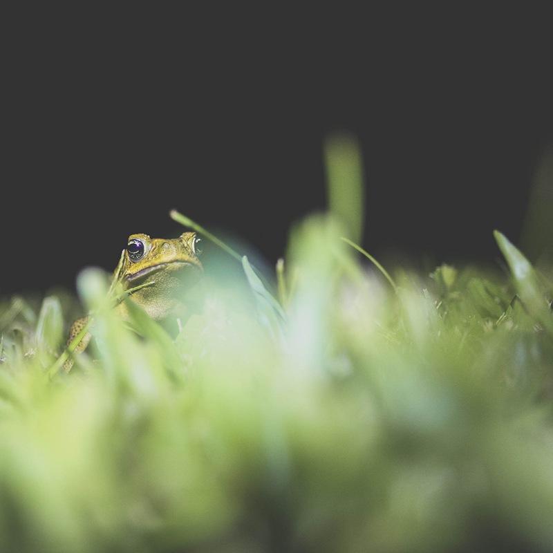 bullfrogs galore3