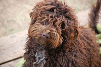 Evergreen Manor Gorgeousdoodles Rocky Mt. Ricky.<br /> Ricky is a handsome mini stud labradoodle boy.