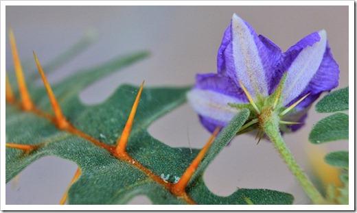 120630_Solanum-pyracanthum_18