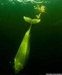 As baleias, sentindo a vulnerabilidade da nadadora, procuraram ajudá-la a subir para a superfície / Viktor Lyagushkin