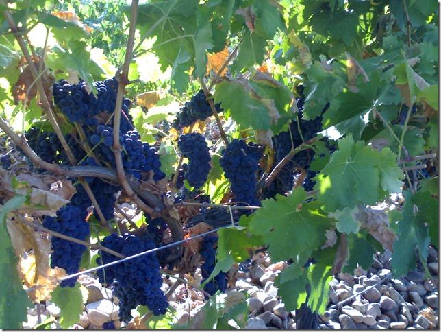 tempranillo2-bog-peninsula-vinhos