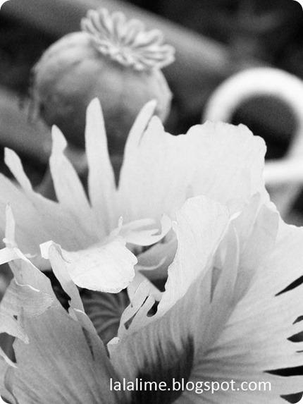 Poppy_Barb-Derksen