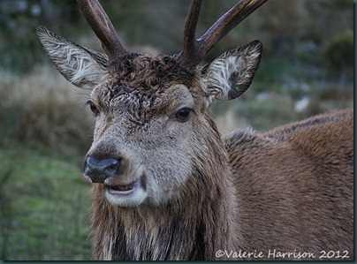 16-red-deer