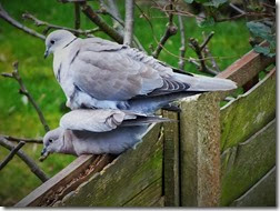 collared doves Feb 2014 (3)